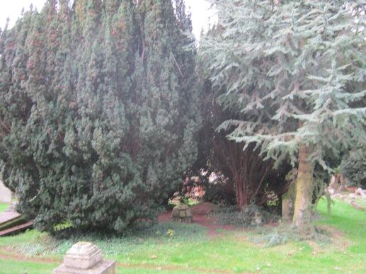 Yew Grove
